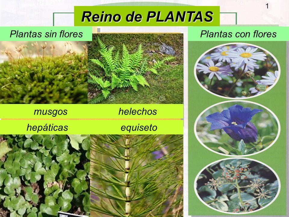 Reino de plantas plantas sin flores plantas con flores musgos helechos ppt video online descargar - Cuales son las plantas con flores ...