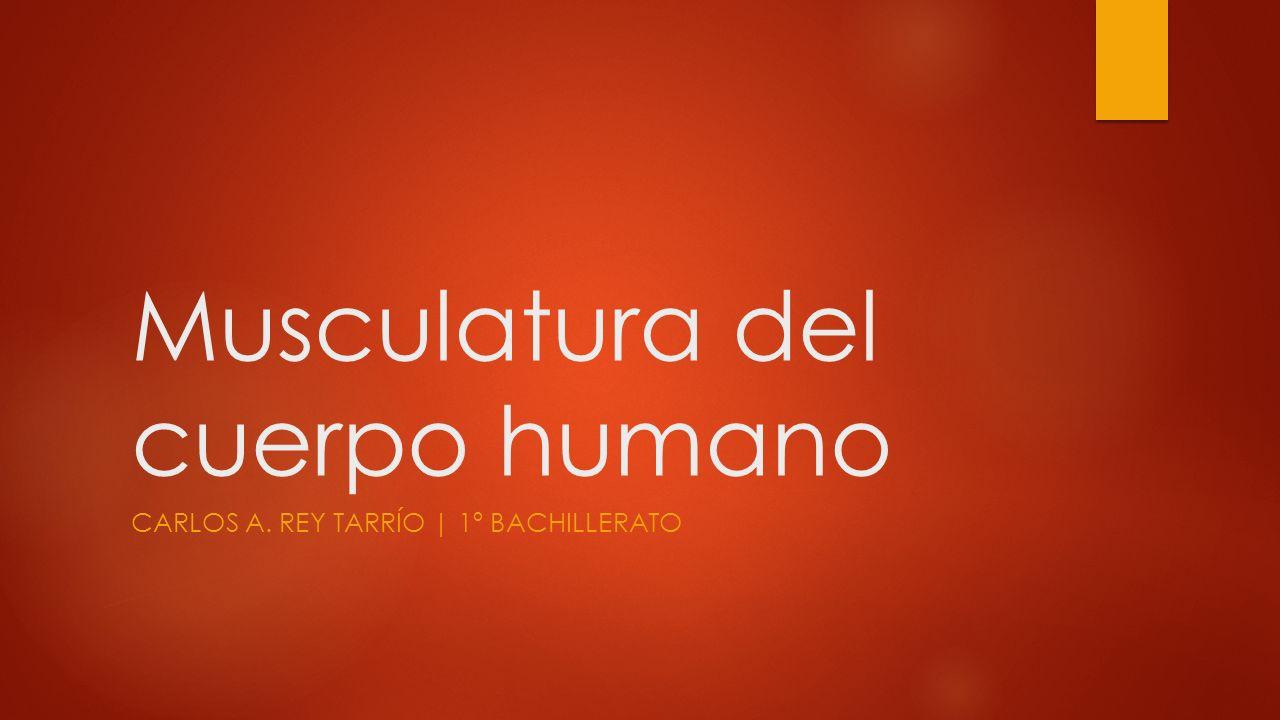 Musculatura del cuerpo humano