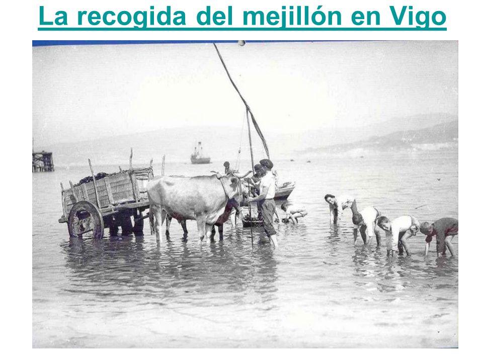 La recogida del mejillón en Vigo
