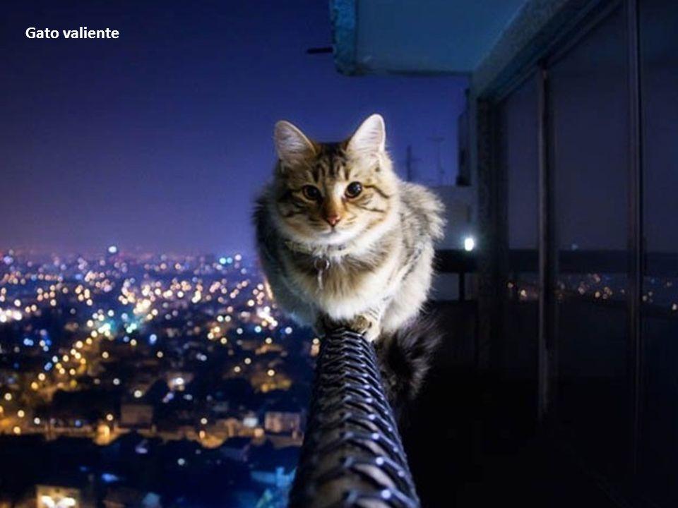 Gato valiente