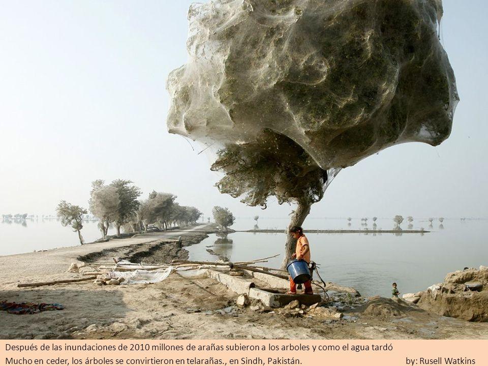 Después de las inundaciones de 2010 millones de arañas subieron a los arboles y como el agua tardó