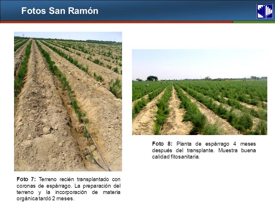 Fotos San Ramón Foto 8: Planta de espárrago 4 meses después del transplante. Muestra buena calidad fitosanitaria.