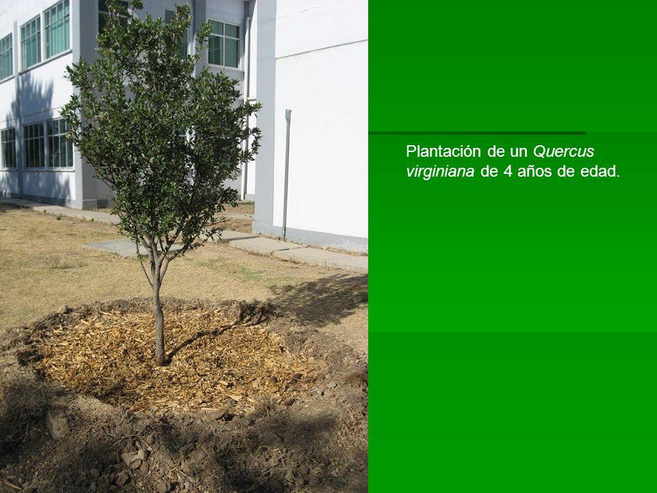 Plantación de un Quercus
