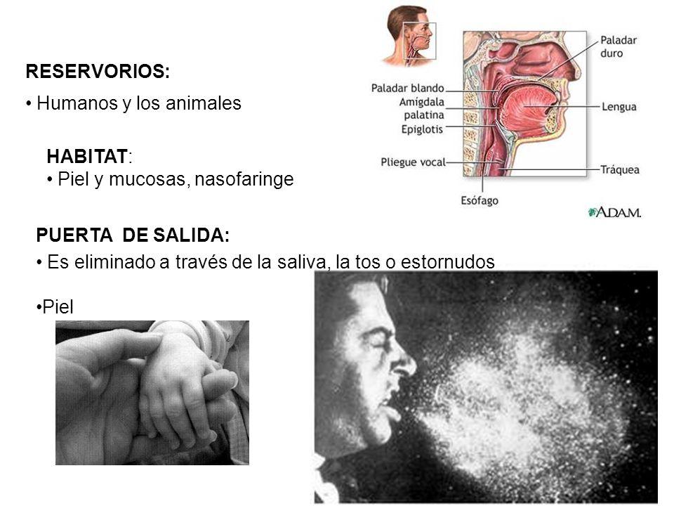 RESERVORIOS: Humanos y los animales. HABITAT: Piel y mucosas, nasofaringe. PUERTA DE SALIDA: