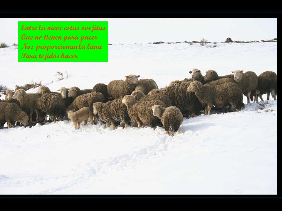 Entre la nieve estas ovejitas