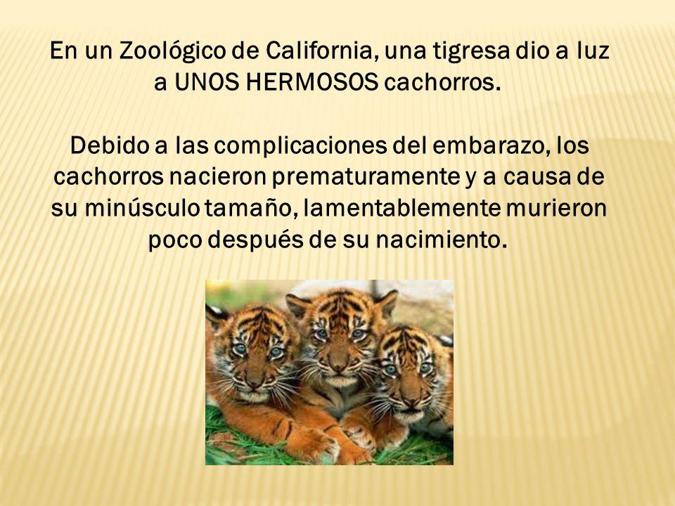 En un Zoológico de California, una tigresa dio a luz a UNOS HERMOSOS cachorros.
