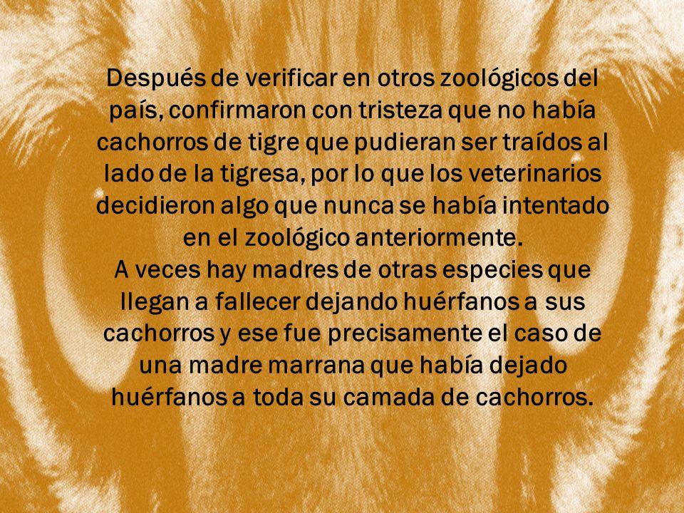 Después de verificar en otros zoológicos del país, confirmaron con tristeza que no había cachorros de tigre que pudieran ser traídos al lado de la tigresa, por lo que los veterinarios decidieron algo que nunca se había intentado en el zoológico anteriormente.