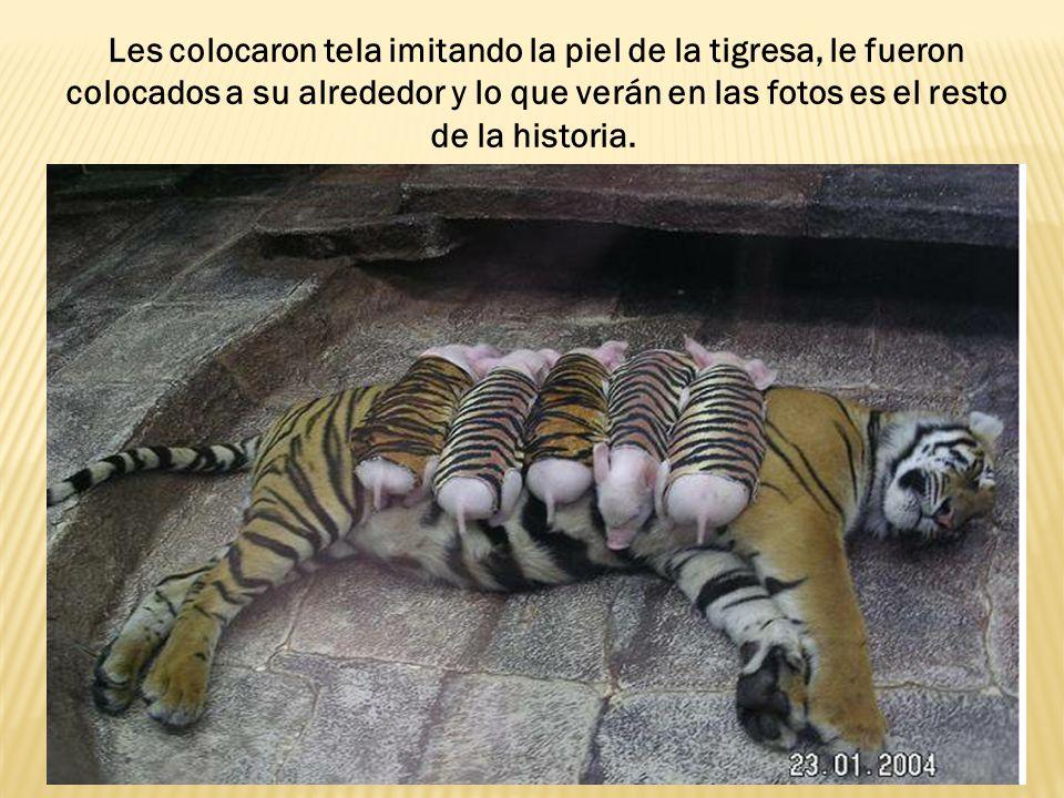 Les colocaron tela imitando la piel de la tigresa, le fueron colocados a su alrededor y lo que verán en las fotos es el resto de la historia.
