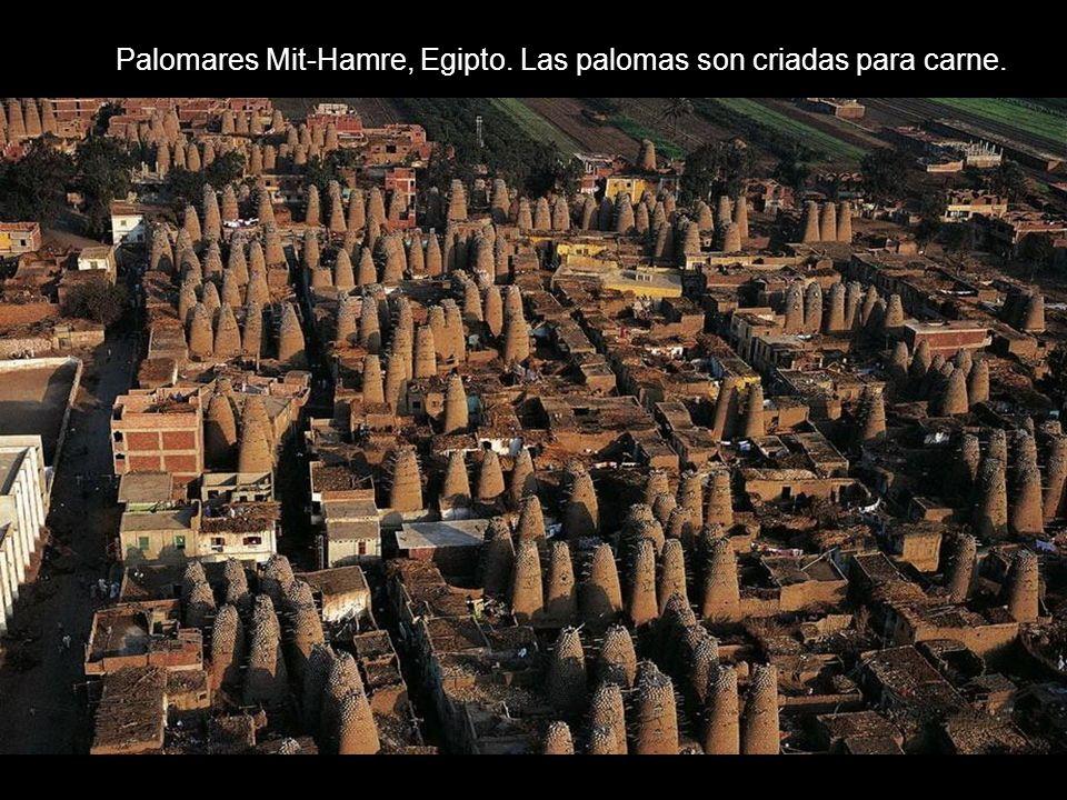 Palomares Mit-Hamre, Egipto. Las palomas son criadas para carne.