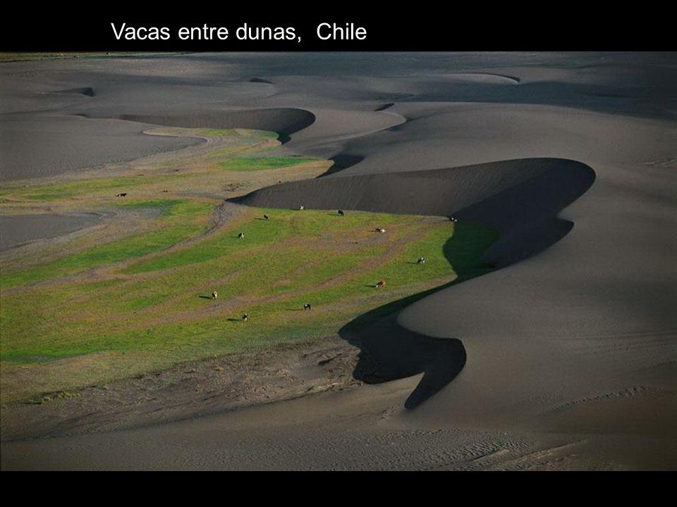 Vacas entre dunas, Chile