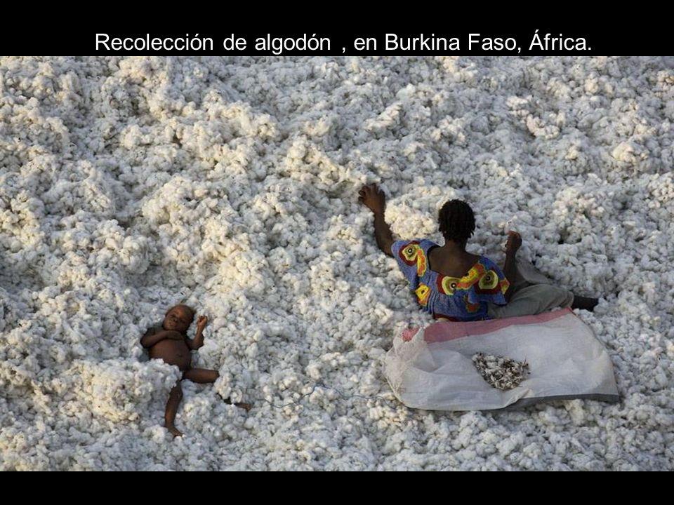 Recolección de algodón , en Burkina Faso, África.