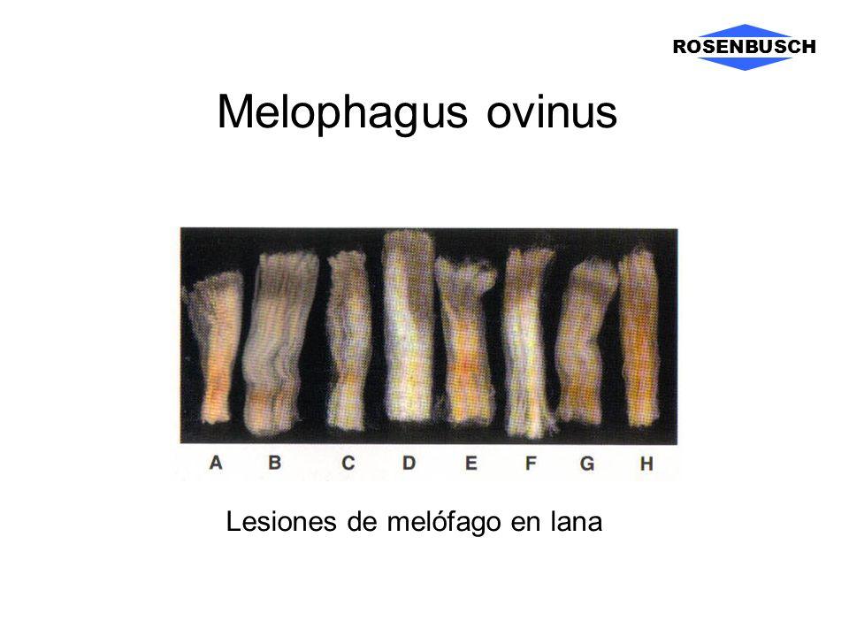ROSENBUSCH Melophagus ovinus Lesiones de melófago en lana