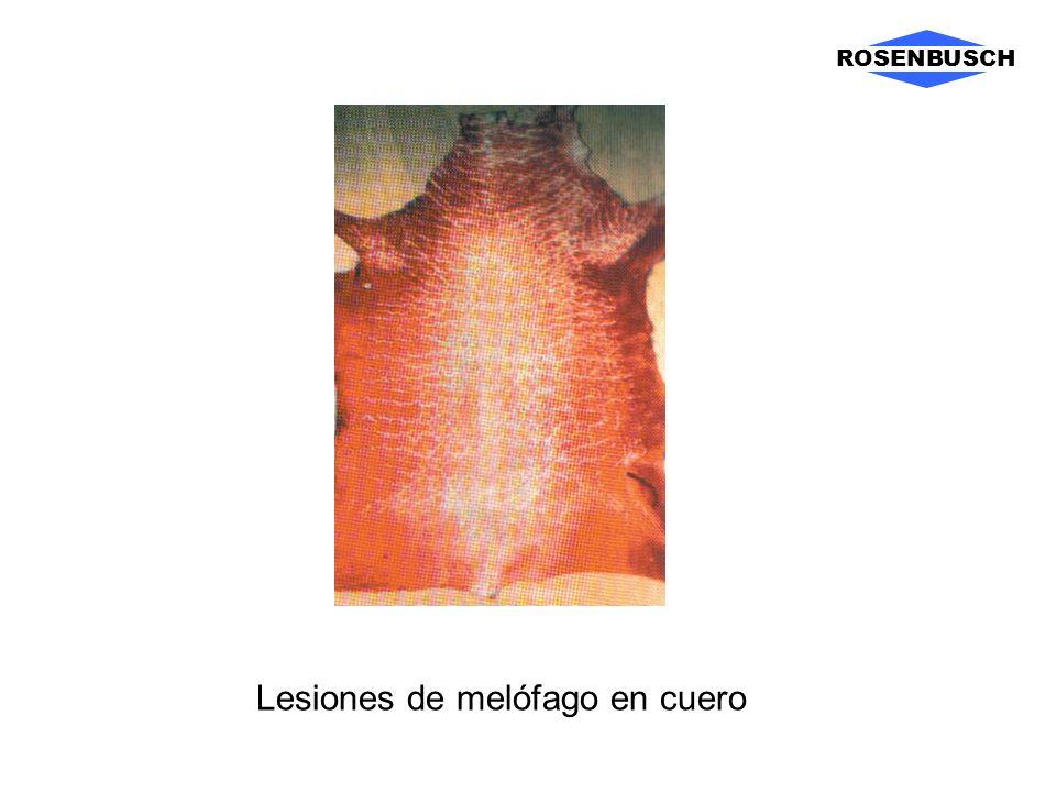 Lesiones de melófago en cuero