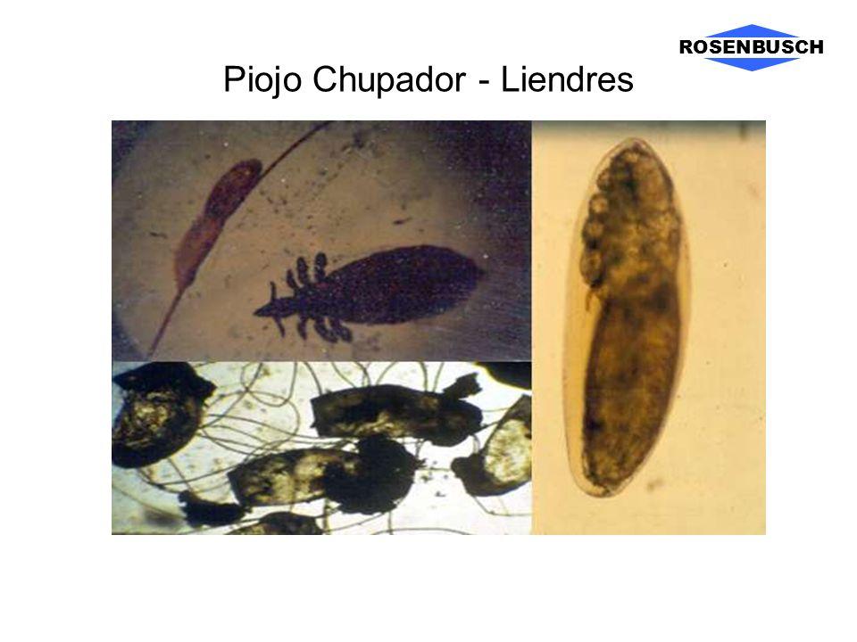 Piojo Chupador - Liendres