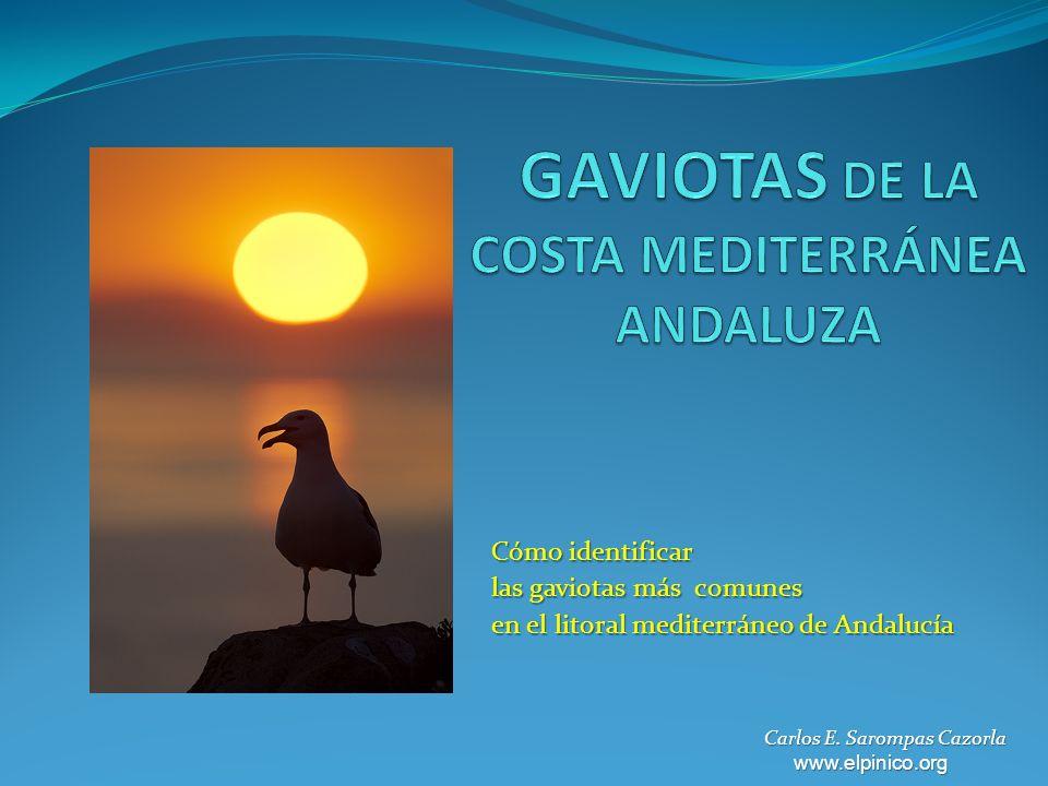 GAVIOTAS DE LA COSTA MEDITERRÁNEA ANDALUZA