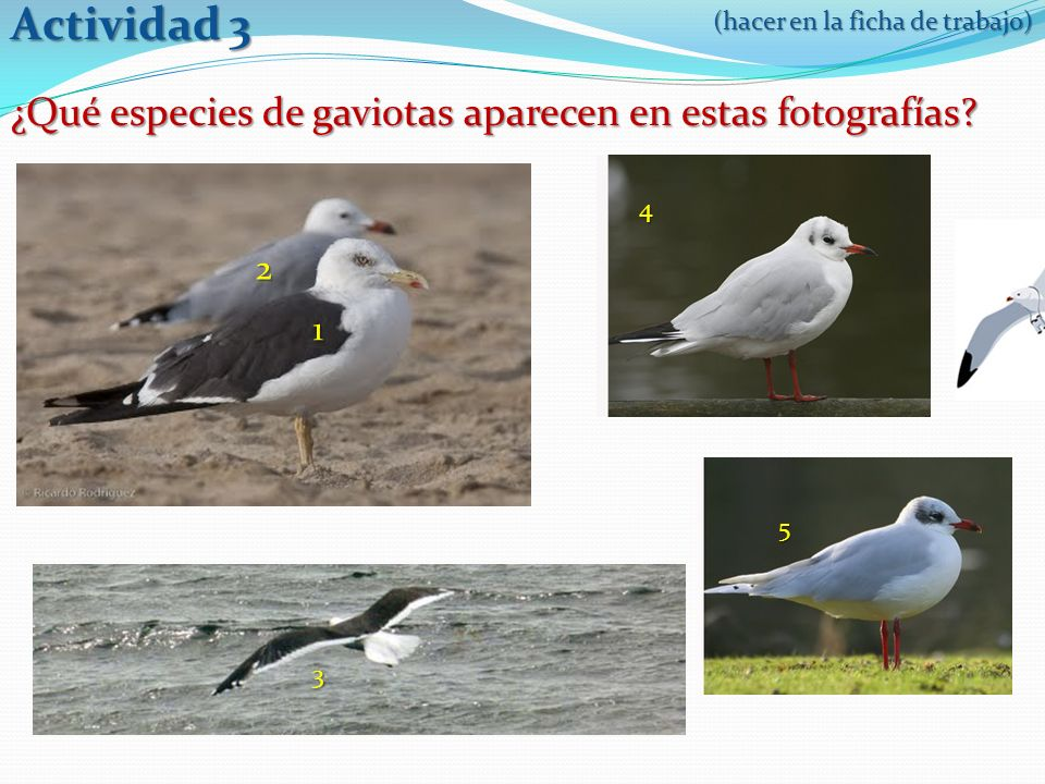 Actividad 3 ¿Qué especies de gaviotas aparecen en estas fotografías 2