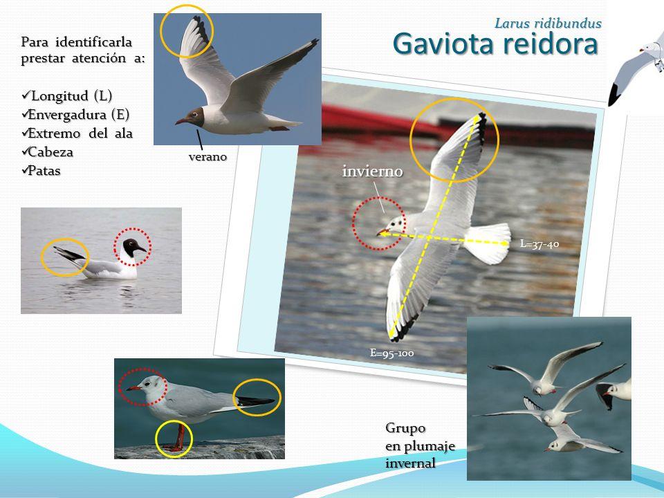 Gaviota reidora invierno Larus ridibundus