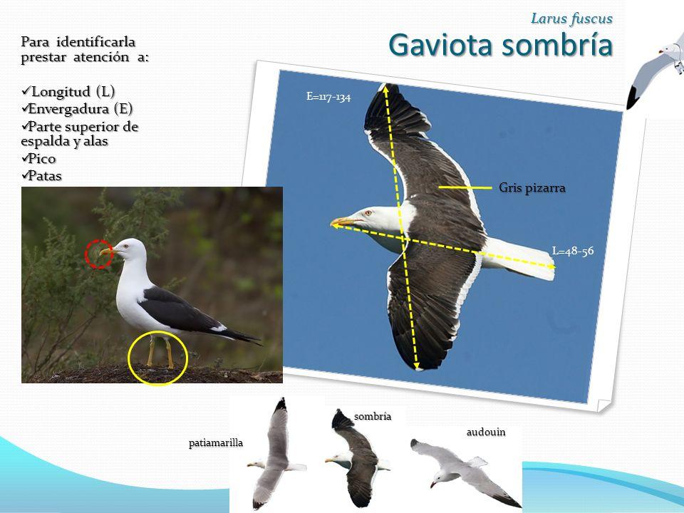 Gaviota sombría Larus fuscus Para identificarla prestar atención a: