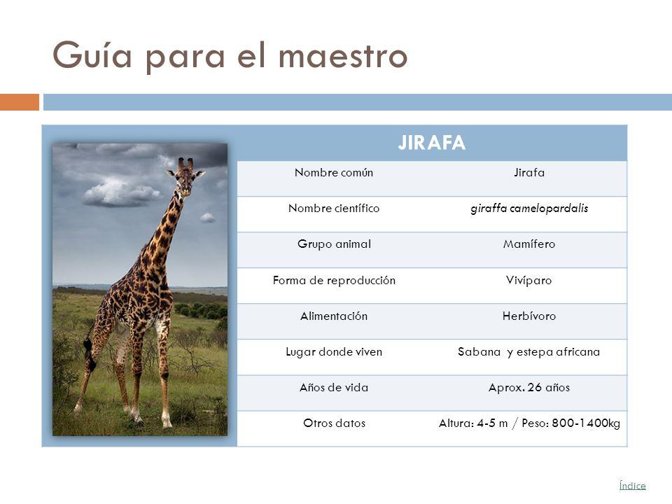 Guía para el maestro JIRAFA Nombre común Jirafa Nombre científico