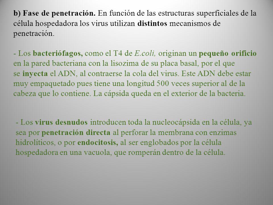 b) Fase de penetración. En función de las estructuras superficiales de la célula hospedadora los virus utilizan distintos mecanismos de penetración.