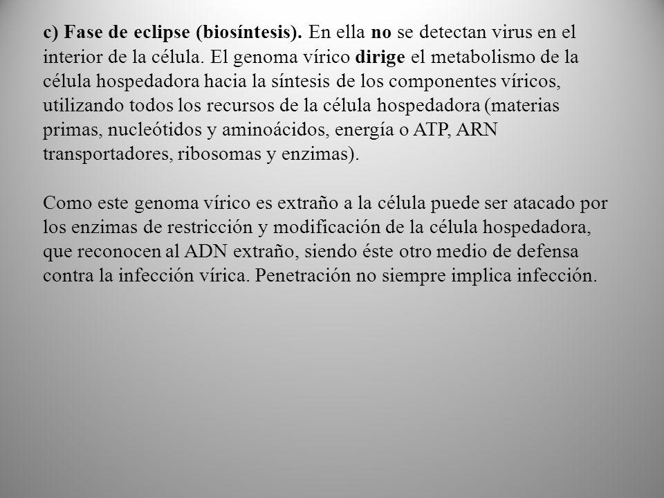 c) Fase de eclipse (biosíntesis)