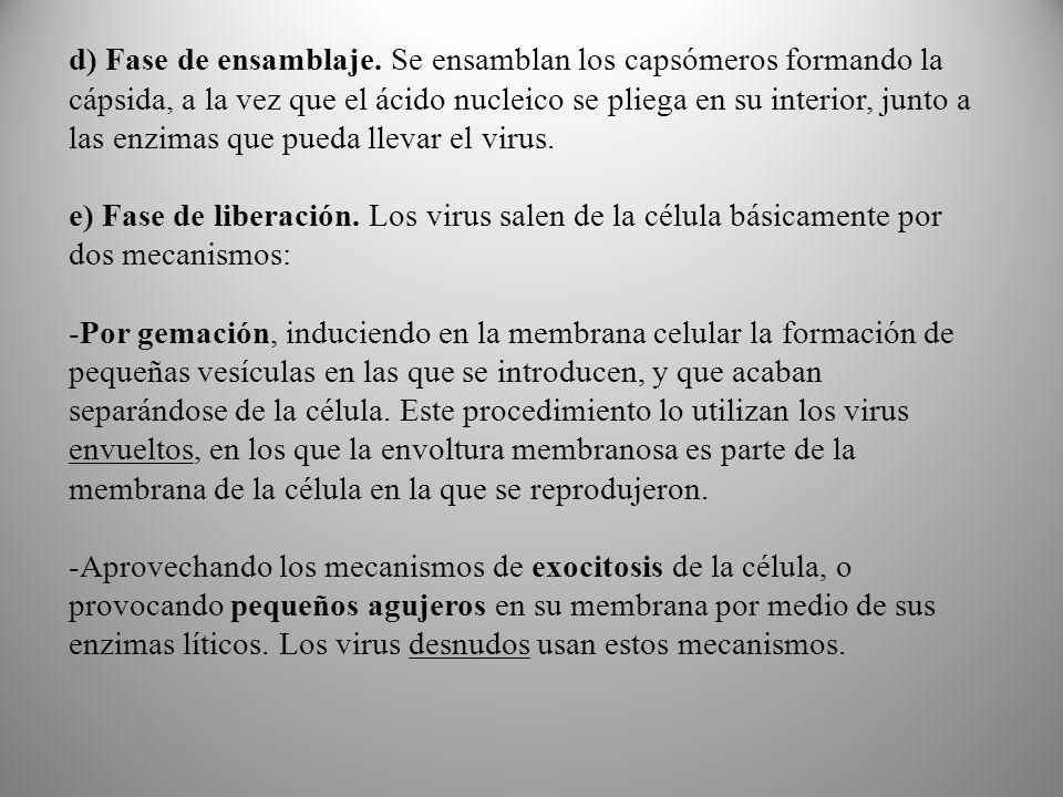 d) Fase de ensamblaje. Se ensamblan los capsómeros formando la cápsida, a la vez que el ácido nucleico se pliega en su interior, junto a las enzimas que pueda llevar el virus.
