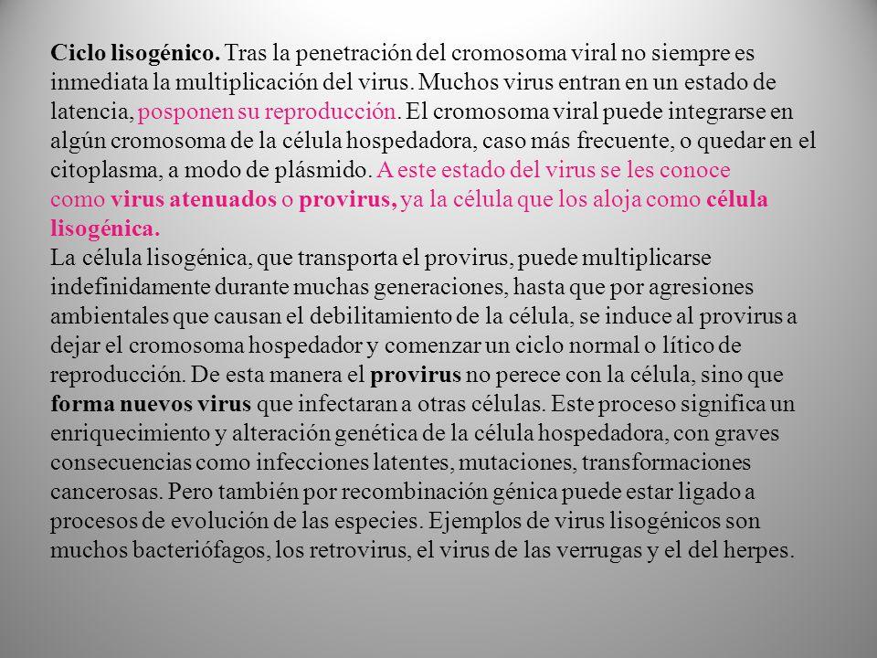 Ciclo lisogénico. Tras la penetración del cromosoma viral no siempre es inmediata la multiplicación del virus. Muchos virus entran en un estado de latencia, posponen su reproducción. El cromosoma viral puede integrarse en algún cromosoma de la célula hospedadora, caso más frecuente, o quedar en el citoplasma, a modo de plásmido. A este estado del virus se les conoce como virus atenuados o provirus, ya la célula que los aloja como célula lisogénica.