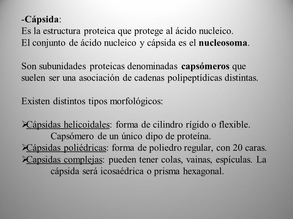 Cápsida: Es la estructura proteica que protege al ácido nucleico. El conjunto de ácido nucleico y cápsida es el nucleosoma.