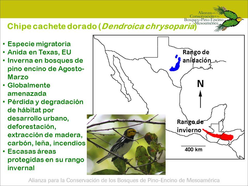 Chipe cachete dorado (Dendroica chrysoparia)