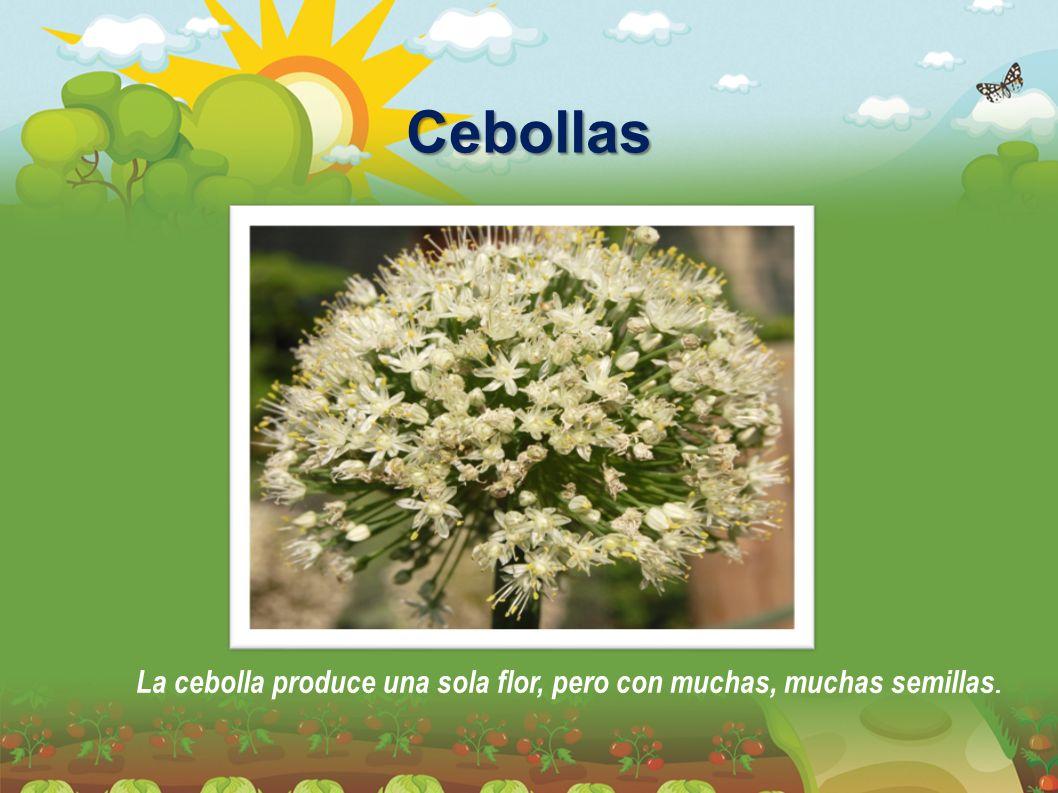 Cebollas La cebolla produce una sola flor, pero con muchas, muchas semillas.