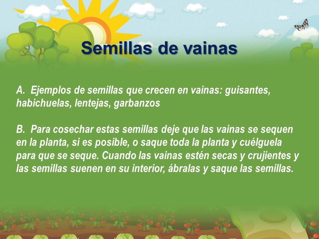 Semillas de vainas A. Ejemplos de semillas que crecen en vainas: guisantes, habichuelas, lentejas, garbanzos.