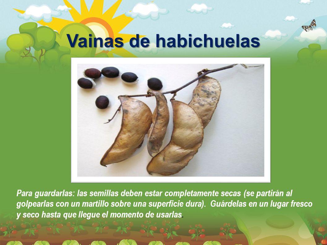 Para guardarlas: las semillas deben estar completamente secas (se partirán al golpearlas con un martillo sobre una superficie dura). Guárdelas en un lugar fresco y seco hasta que llegue el momento de usarlas.