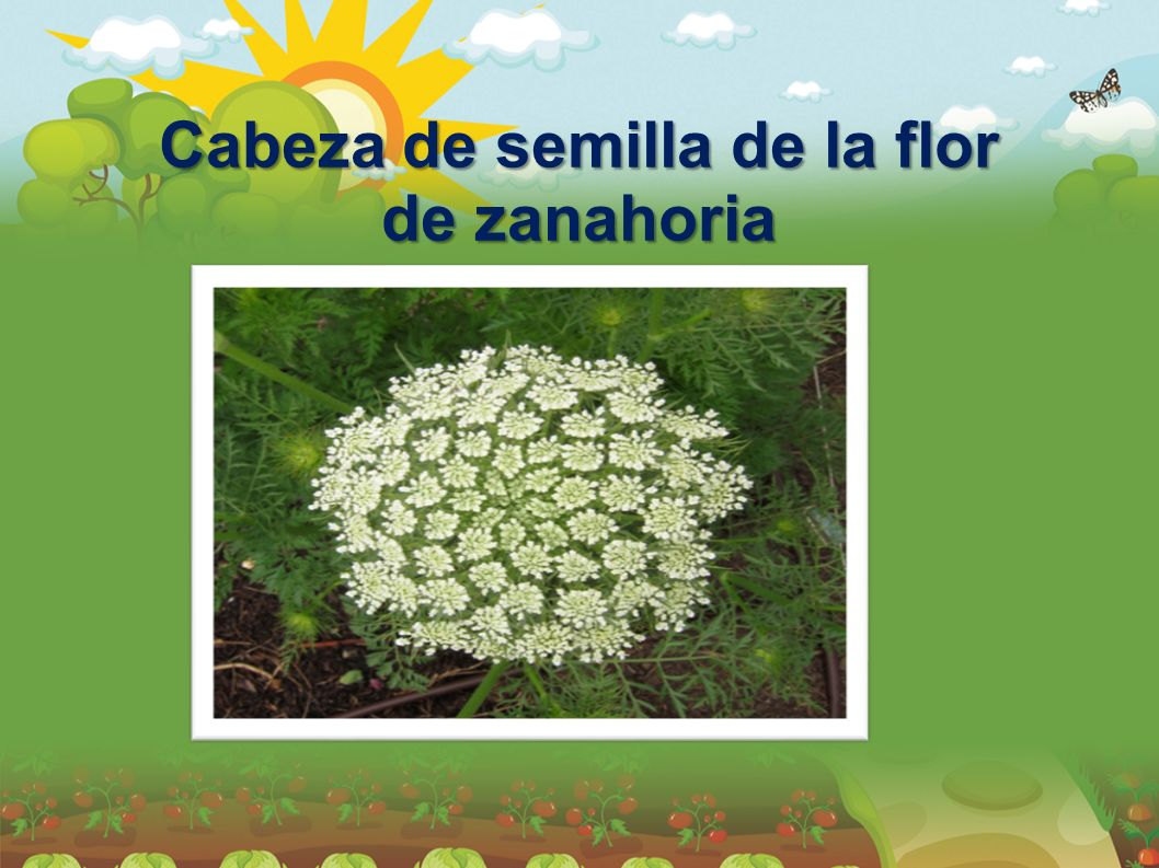 Cabeza de semilla de la flor