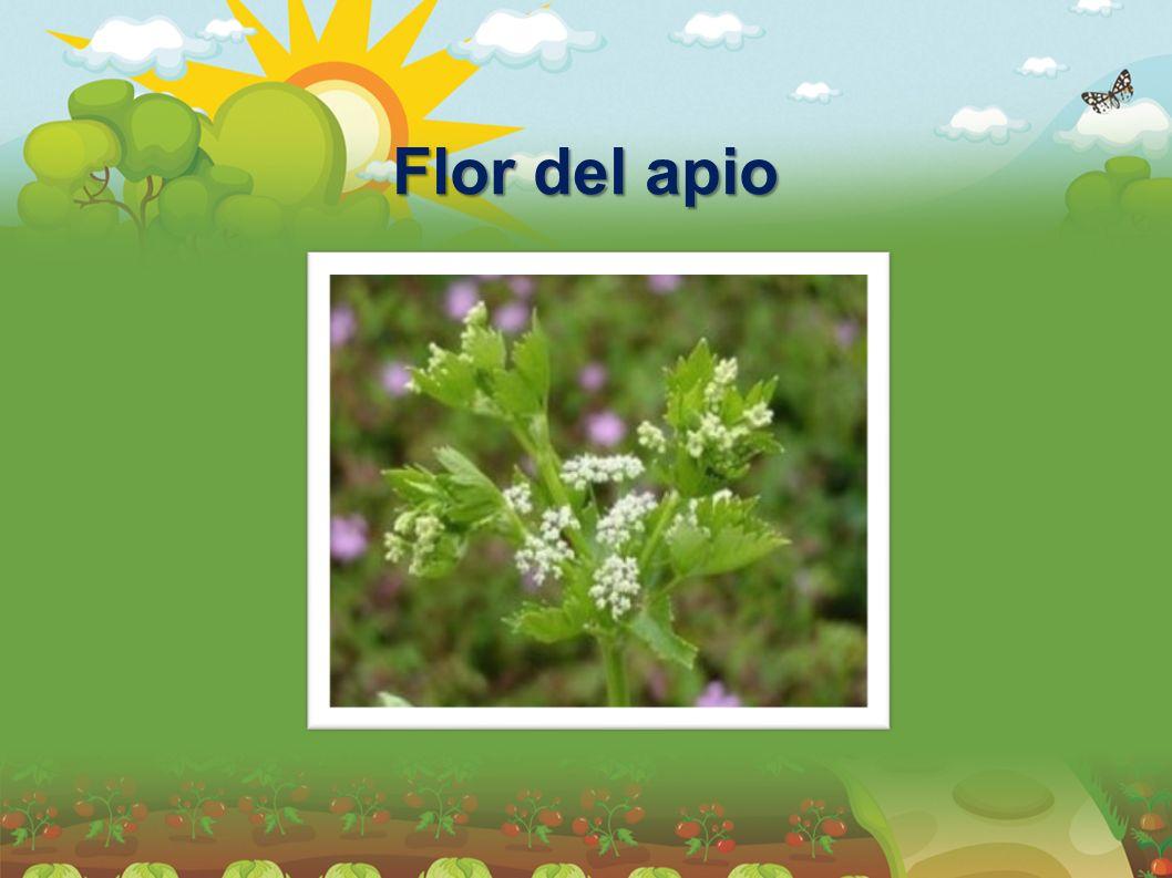 Flor del apio