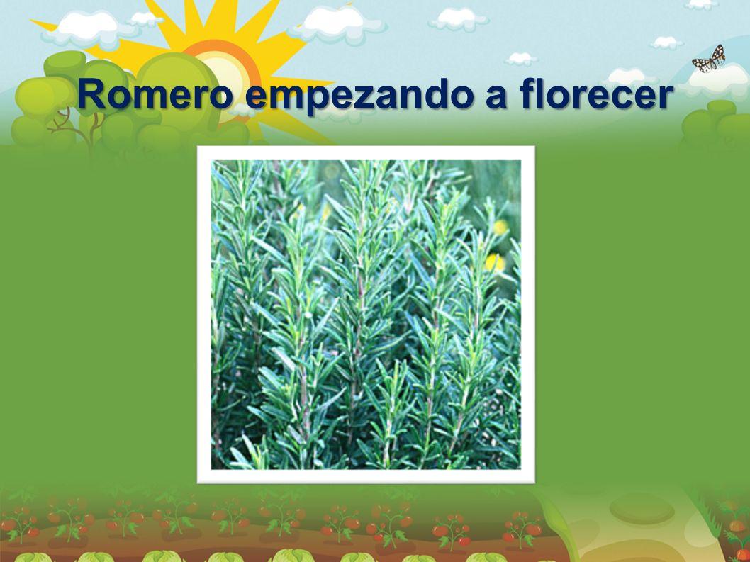 Romero empezando a florecer