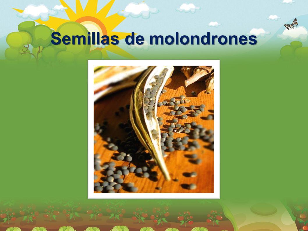 Semillas de molondrones
