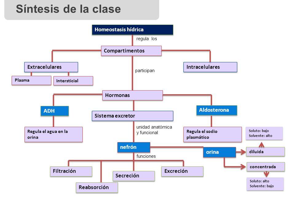 Síntesis de la clase Homeostasis hídrica Compartimentos Extracelulares