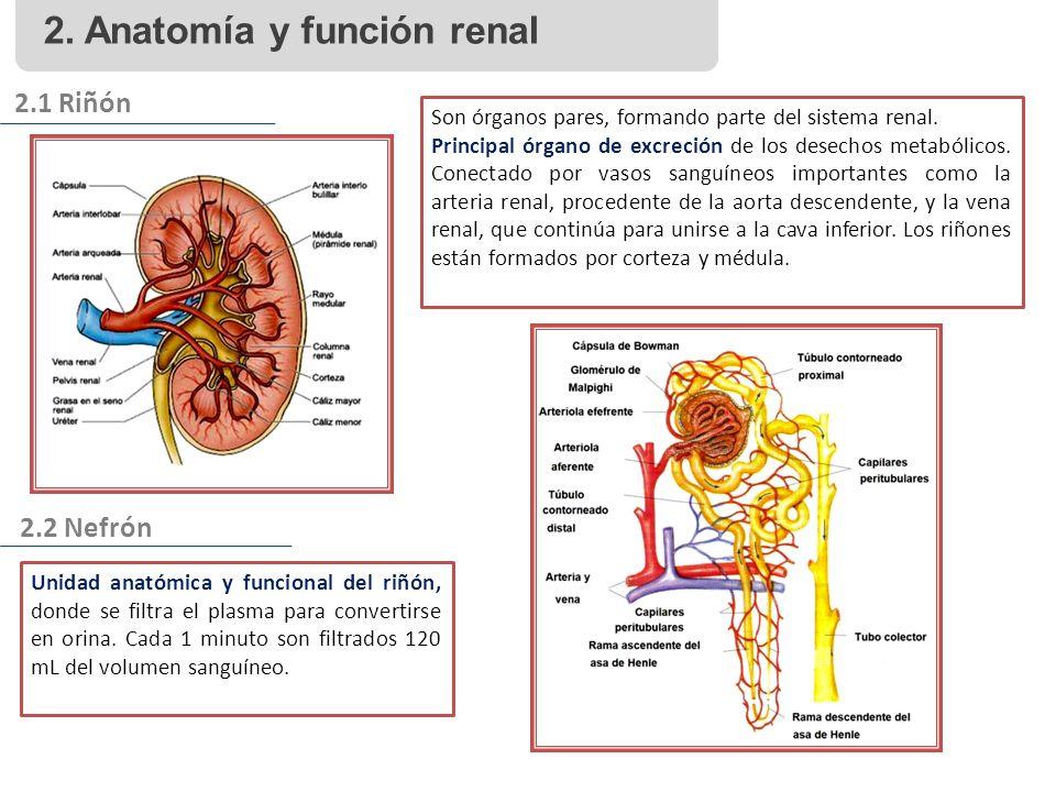 2. Anatomía y función renal