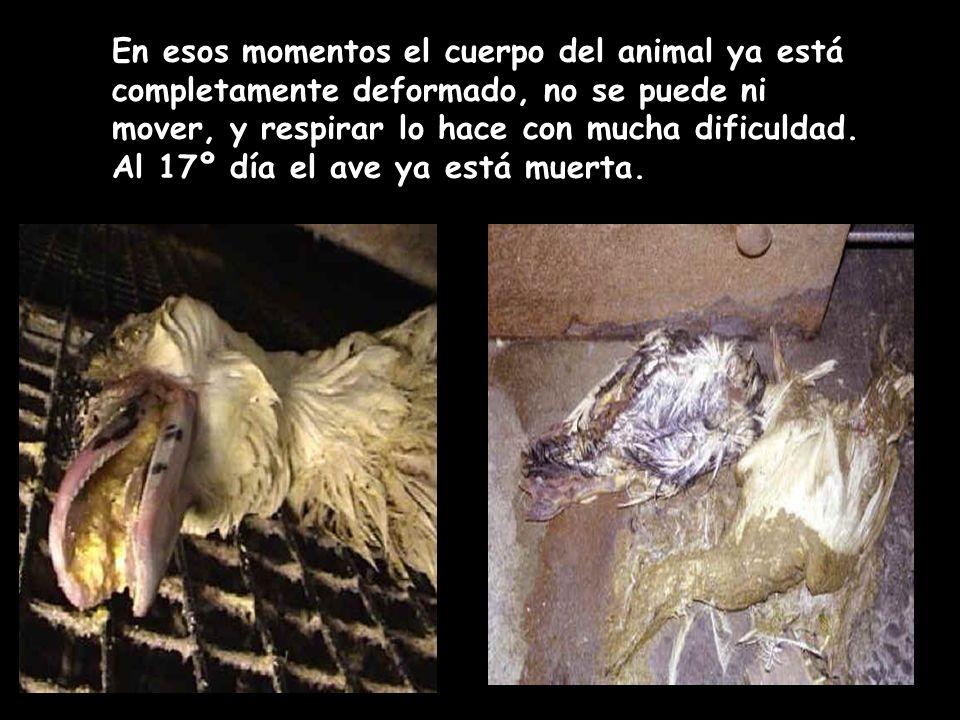 En esos momentos el cuerpo del animal ya está completamente deformado, no se puede ni mover, y respirar lo hace con mucha dificuldad.