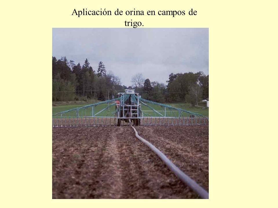Aplicación de orina en campos de trigo.