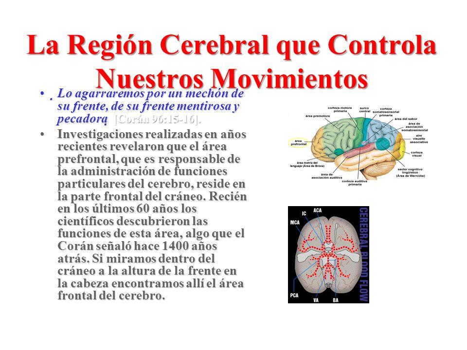 La Región Cerebral que Controla Nuestros Movimientos