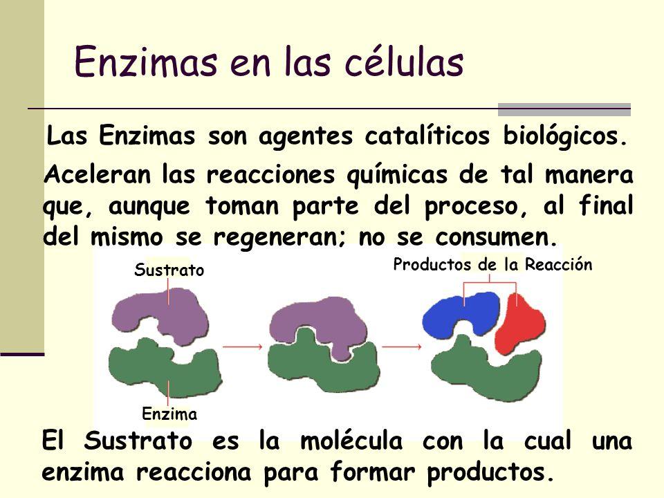 Enzimas en las células Las Enzimas son agentes catalíticos biológicos.