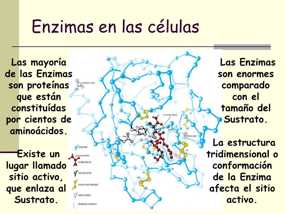 Enzimas en las células Las mayoría de las Enzimas son proteínas que están constituídas por cientos de aminoácidos.