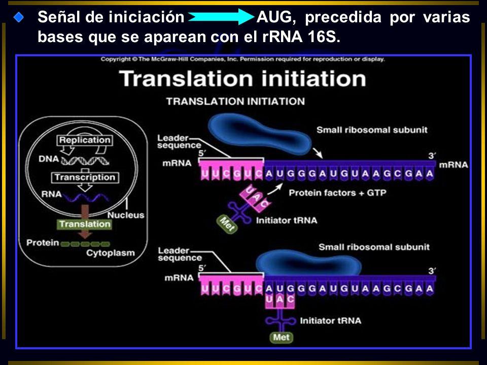 Señal de iniciación AUG, precedida por varias bases que se aparean con el rRNA 16S.