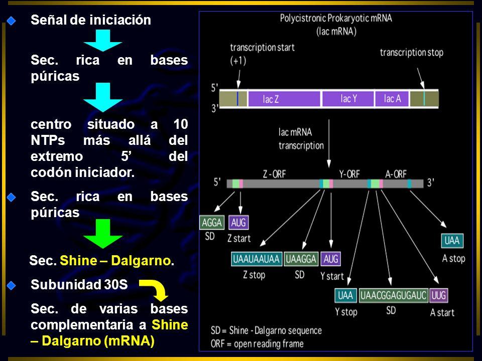 Señal de iniciación Sec. rica en bases púricas. centro situado a 10 NTPs más allá del extremo 5' del codón iniciador.
