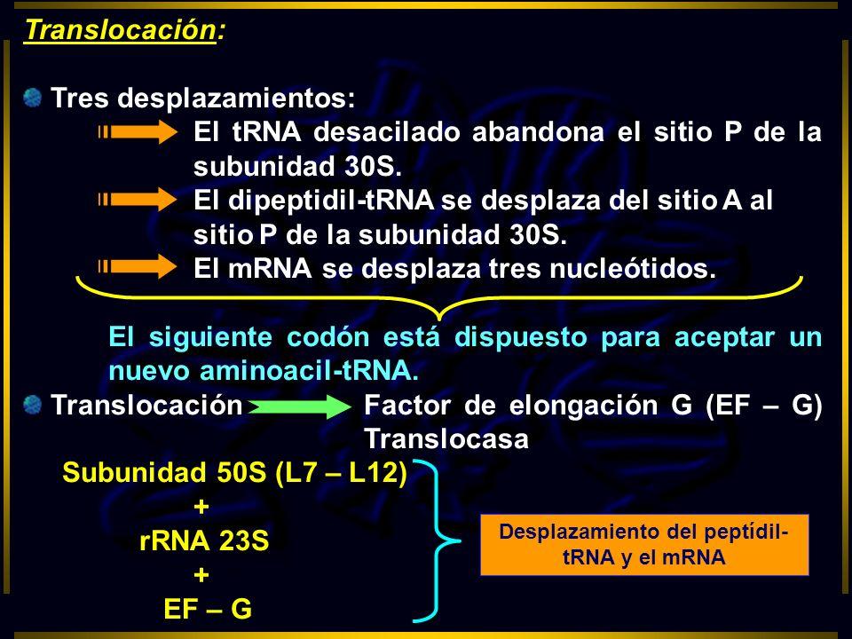 Desplazamiento del peptídil-tRNA y el mRNA