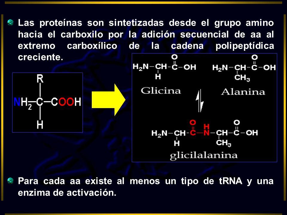 Las proteínas son sintetizadas desde el grupo amino hacia el carboxilo por la adición secuencial de aa al extremo carboxílico de la cadena polipeptídica creciente.