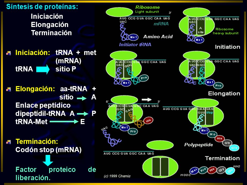 Síntesis de proteínas: