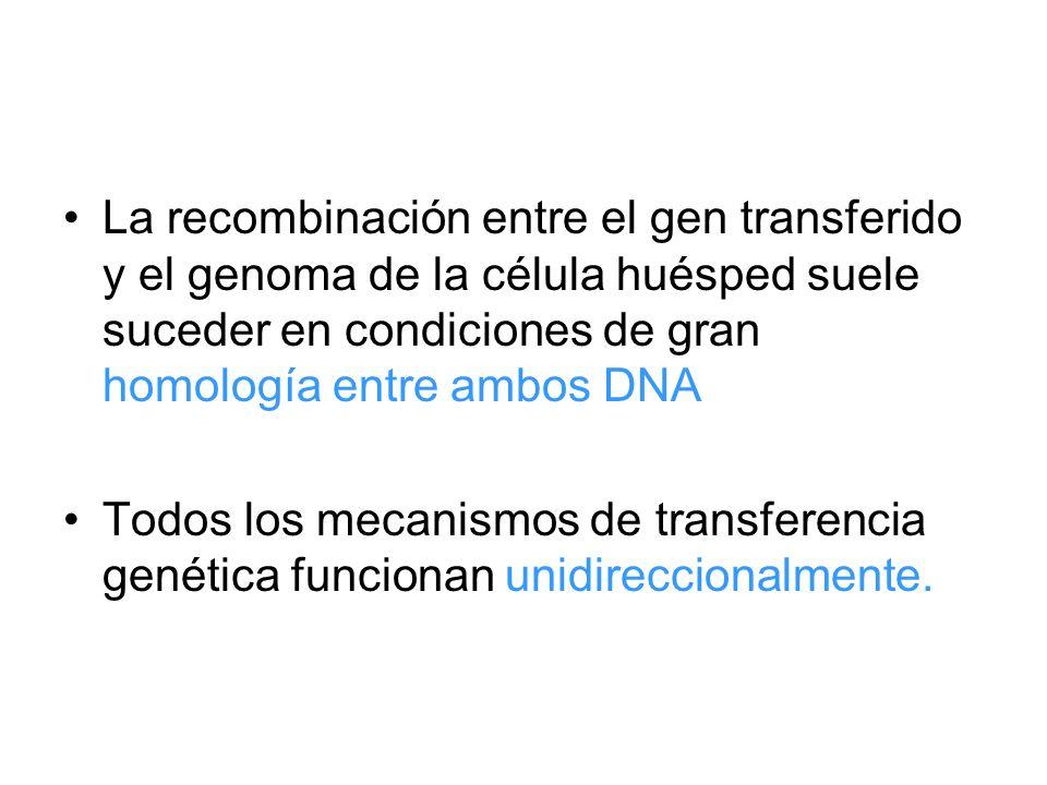 La recombinación entre el gen transferido y el genoma de la célula huésped suele suceder en condiciones de gran homología entre ambos DNA
