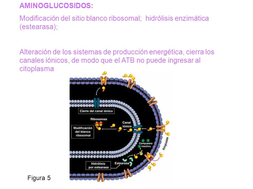AMINOGLUCOSIDOS: Modificación del sitio blanco ribosomal; hidrólisis enzimática (estearasa);
